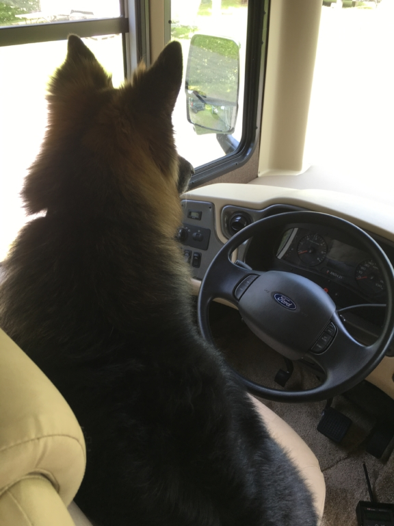 Dixie in the driver's seat of the motorhome