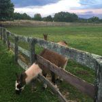 Farm animals at Gettysburg Farm Campground