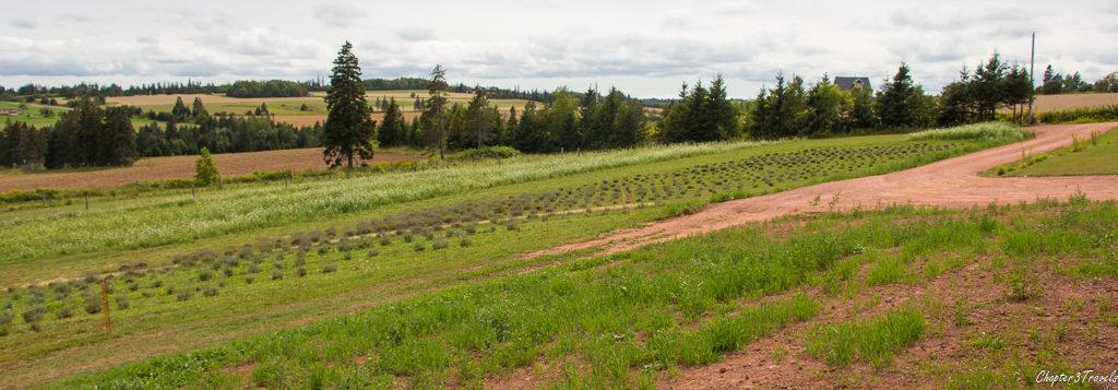 Lavender fields at Island Honey Wine Company in Prince Edward Island