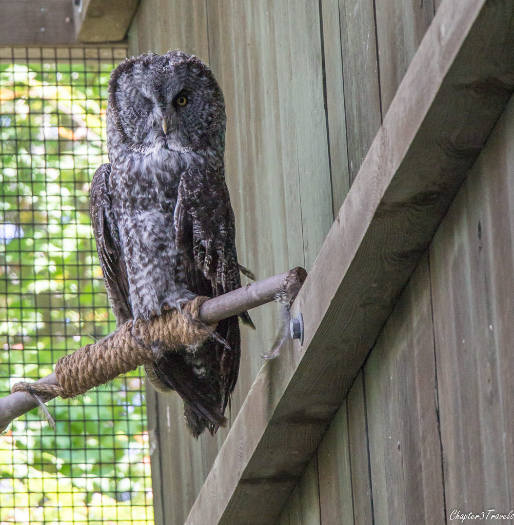 A one-eyed owl at Vermont Institute of Natural Science in Quechee, Vermont