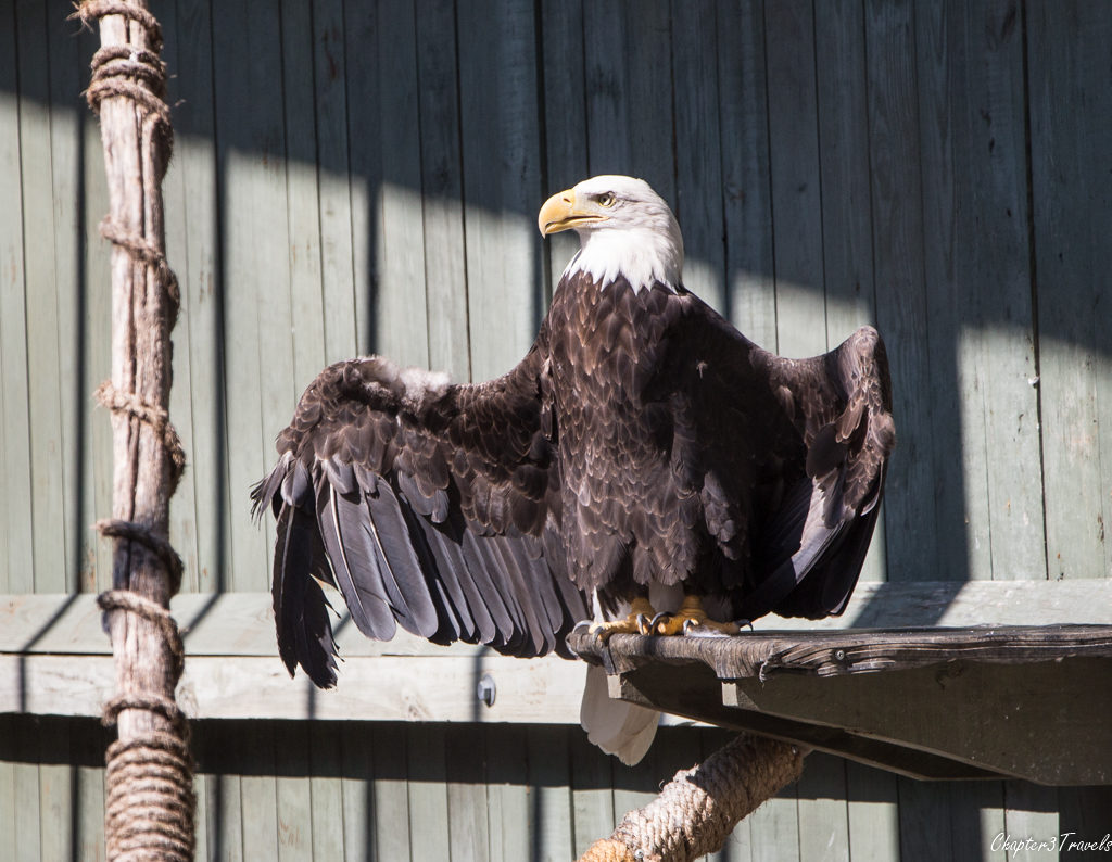 Bald eagle with a broken wing at Vermont Institute of Natural Science in Quechee, Vermont