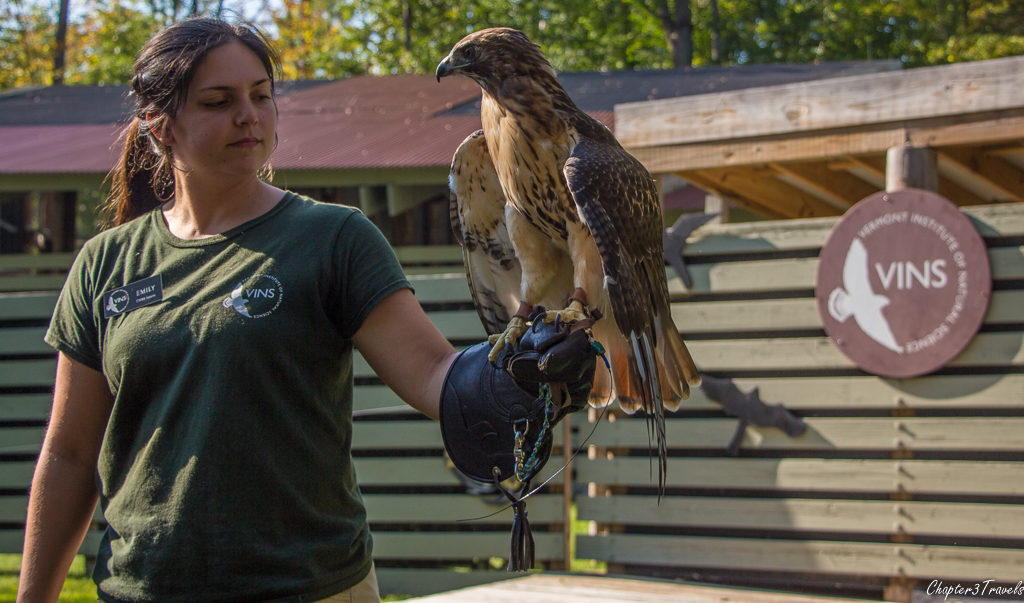 A Red Tailed Hawk at the Vermont Institute of Natural Science