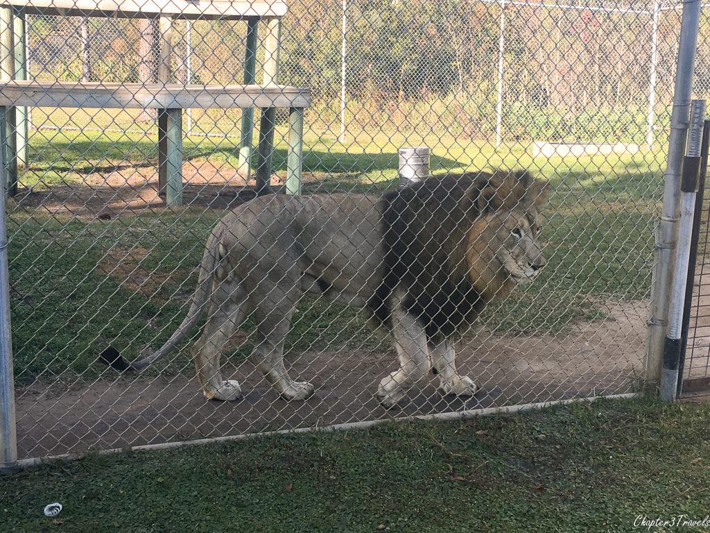 Lion at Chuckie Gulf Coast Zoo in Gulf Shores, Alabama
