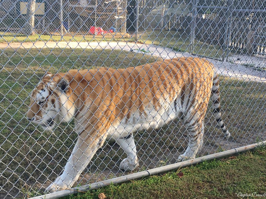 Tiger at Gulf Coast Zoo in Gulf Shores, Alabama
