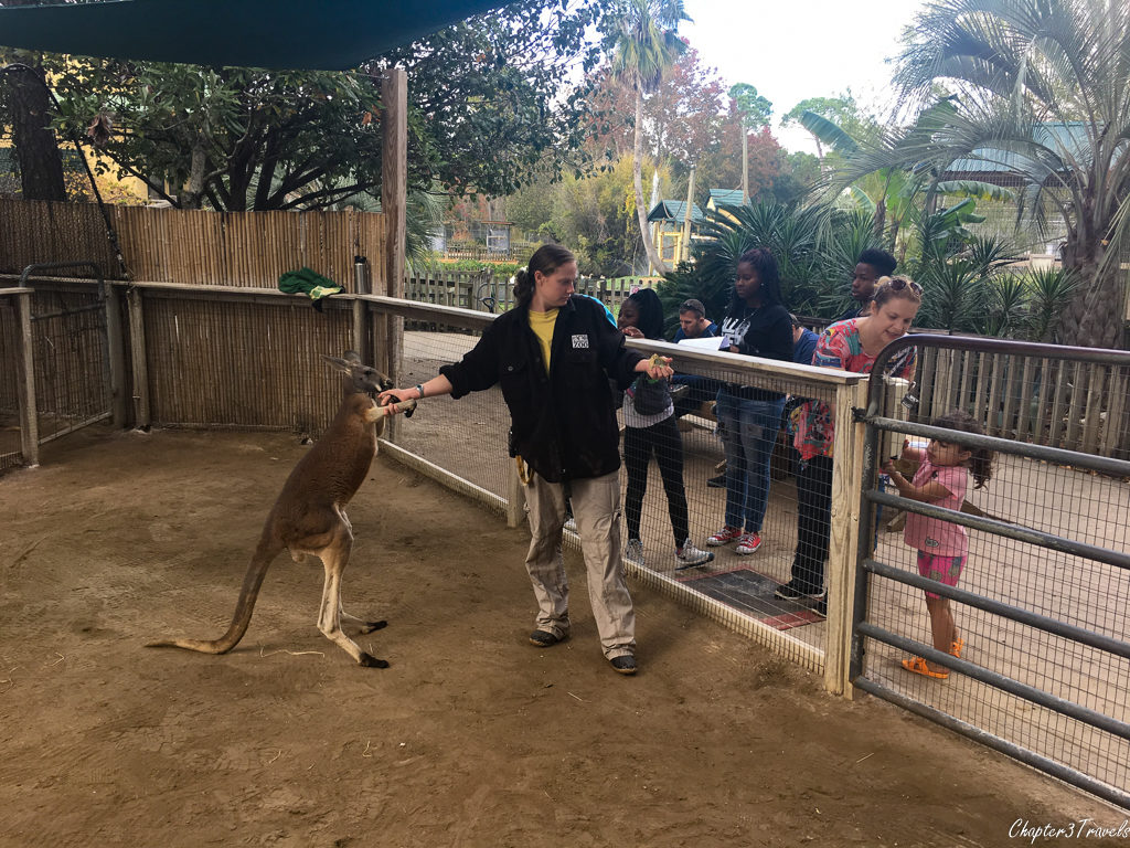 Kangaroo and zoo staff member at Gulf Coast Zoo in Gulf Shores, Alabama