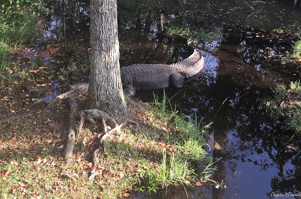 Chuckie the alligator at Gulf Coast Zoo in Gulf Shores, Alabama