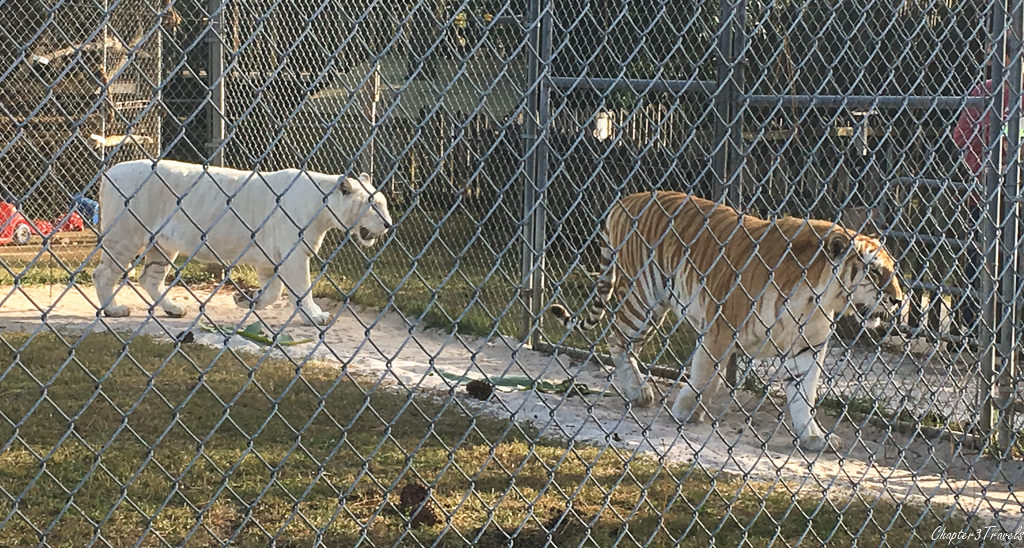 Tigers walking inside their enclosure at Gulf Coast Zoo in Gulf Shores, Alabama