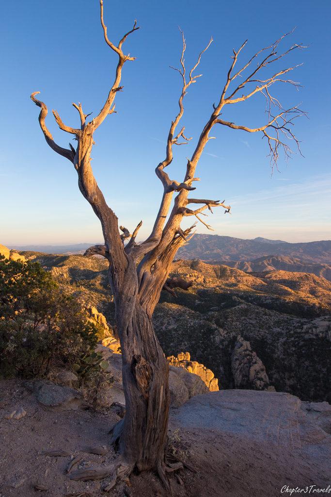 Tree at Mount Lemmon in Tucson, Arizona