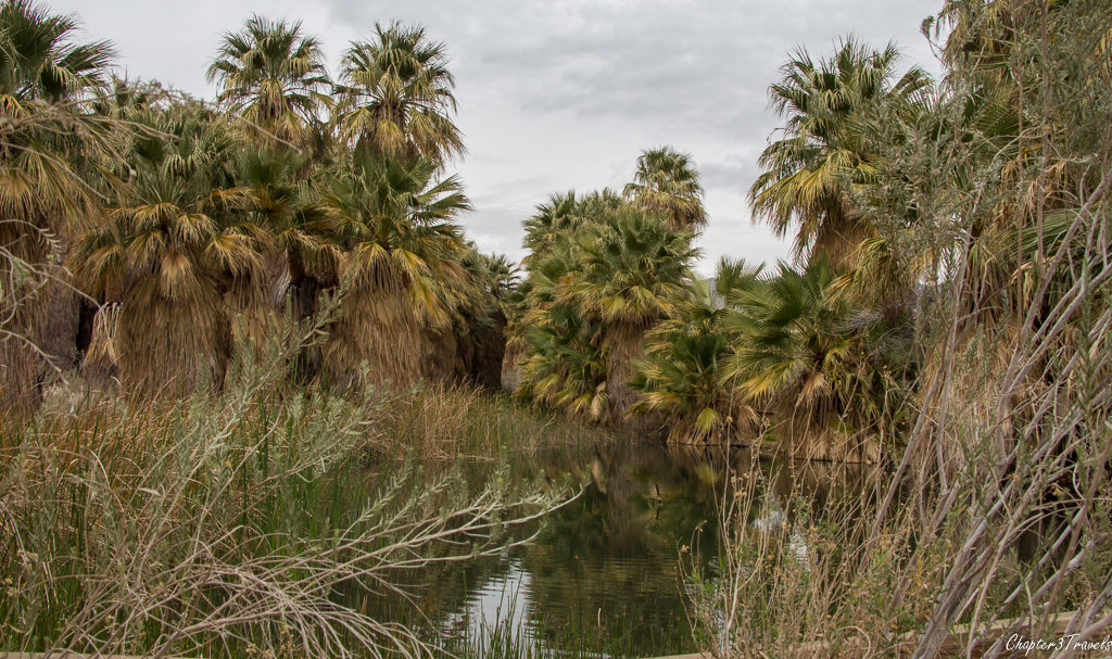 Palm trees surrounding a pond at Coachella Valley Preserve in Thousand Palms, California
