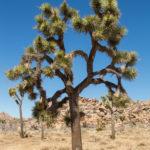 A Joshua Tree at Joshua Tree National Park