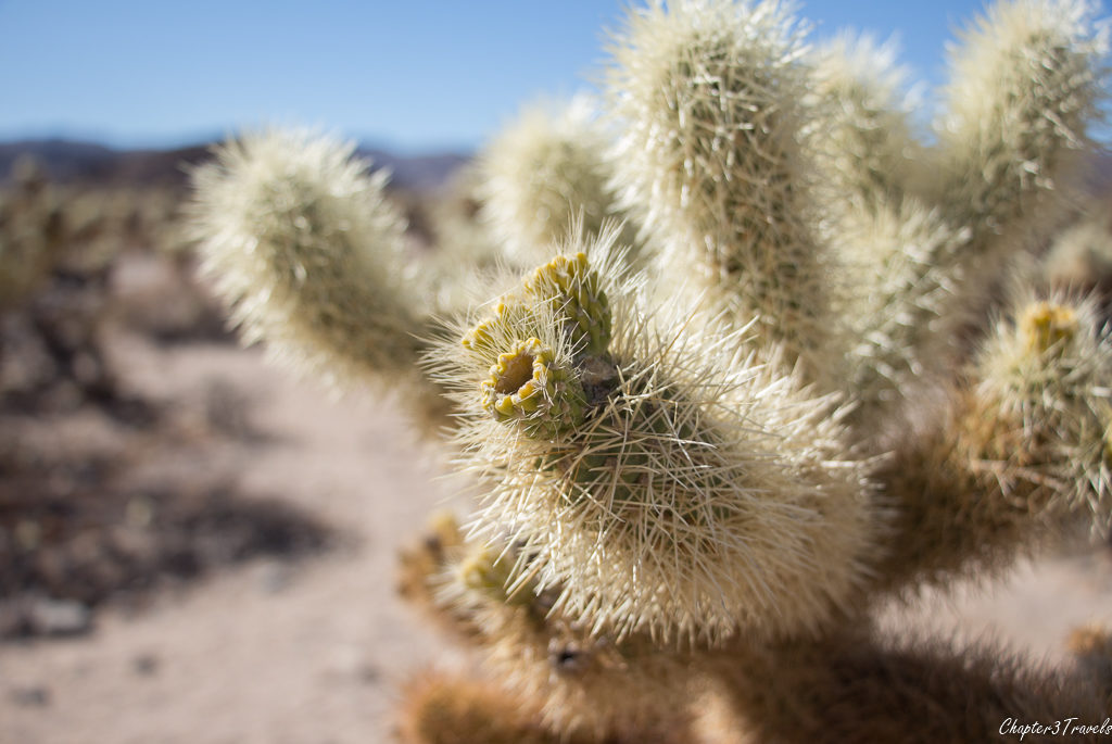 Cholla Cactus at Joshua Tree National Park