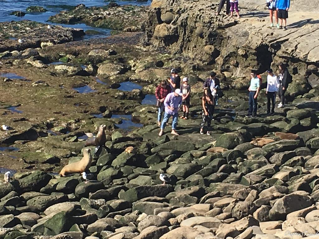 Tourists walking up to seals at La Jolla Cove