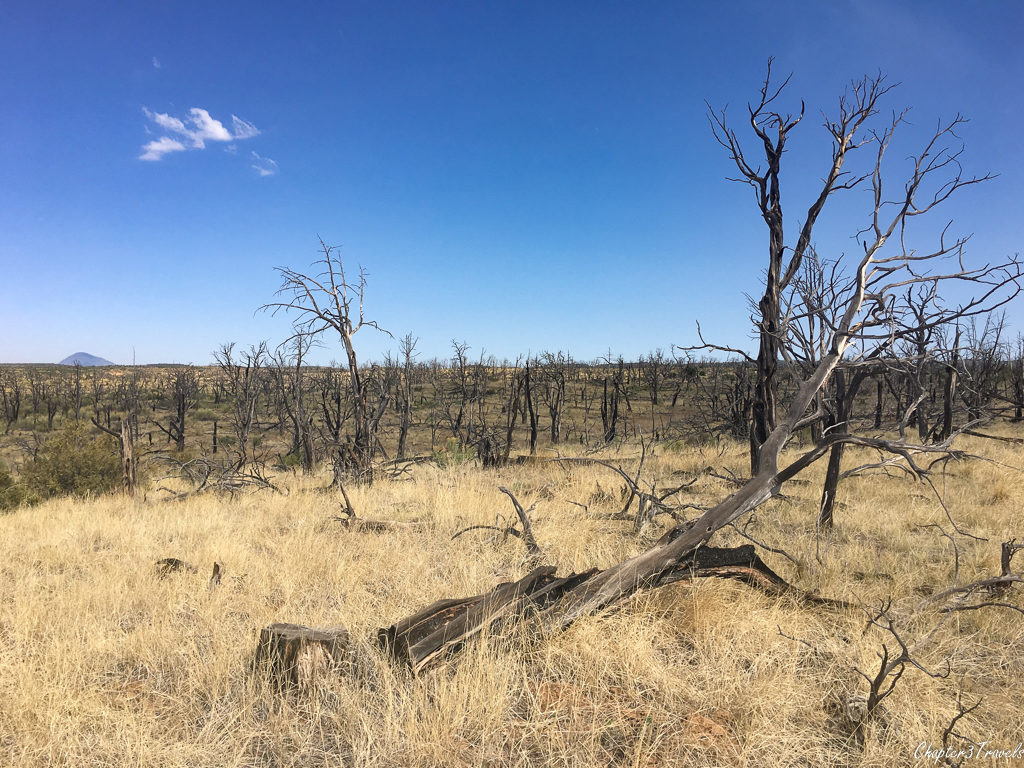 Burned trees on Weatherill Mesa at Mesa Verde National Park