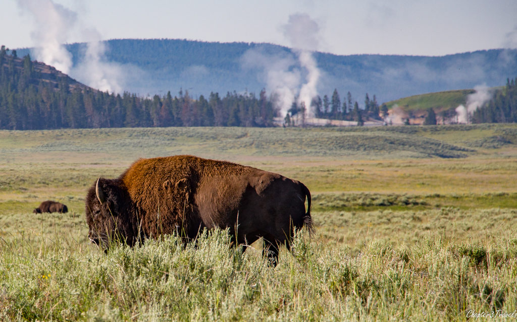 Bison in a field surrounded by fumaroles at Yellowstone National Park