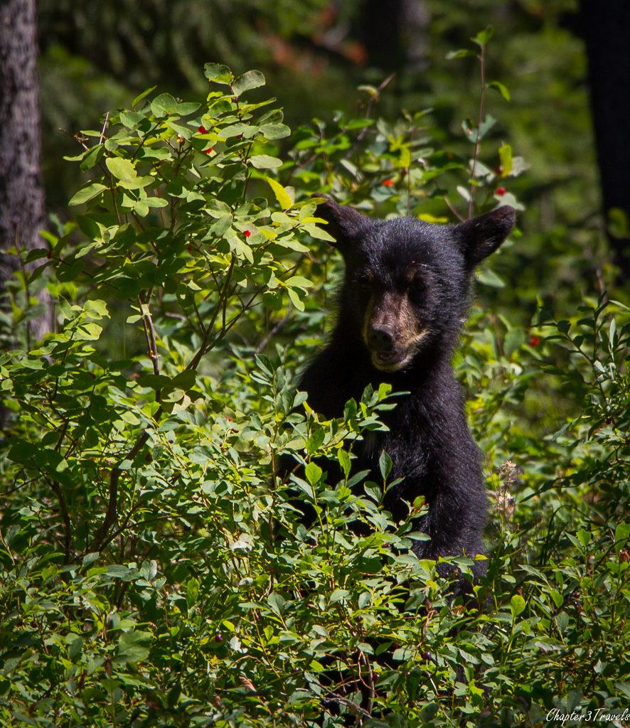 Bear cub at Yellowstone National Park