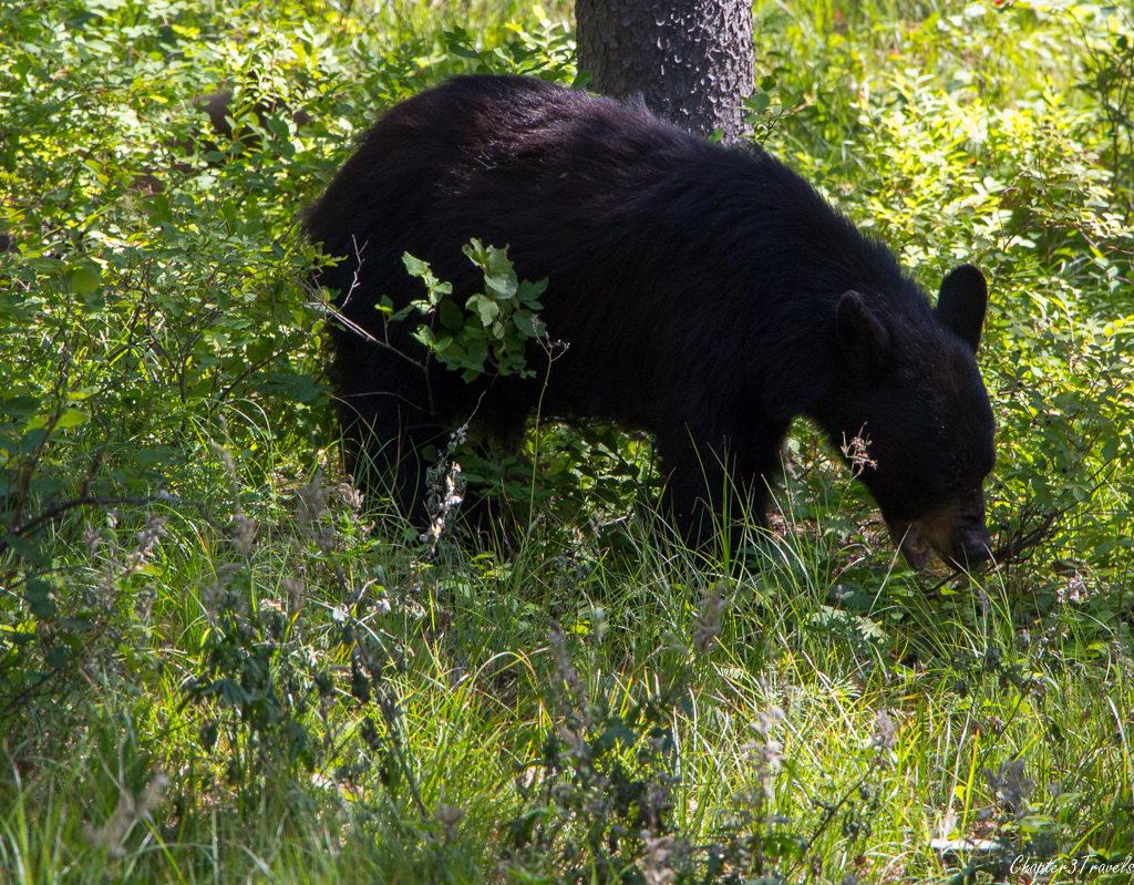 Bear at Yellowstone National Park