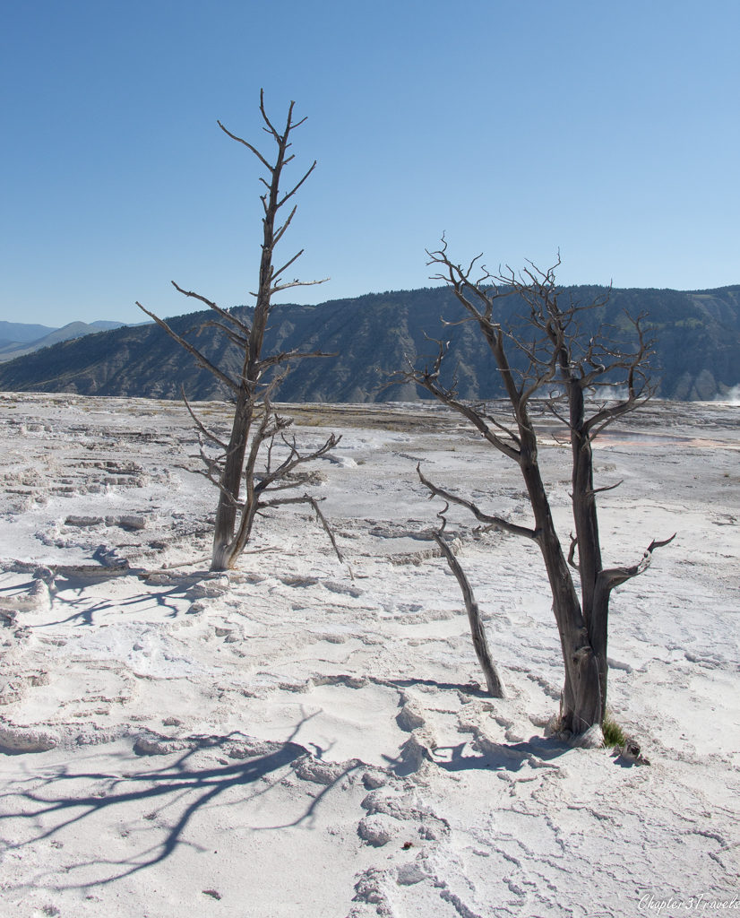 Dead trees surrounded by calcite build up near Mammoth Hot Springs