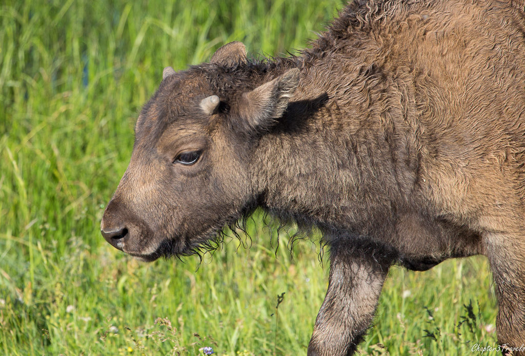 Baby bison at Yellowstone National Park