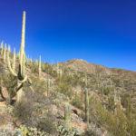 Saguaro cacti on a mountain at Saguaro National Park