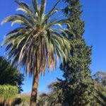 Palm tree growing next to evergreen tree