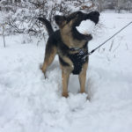 Thor with a snowball in his mouth