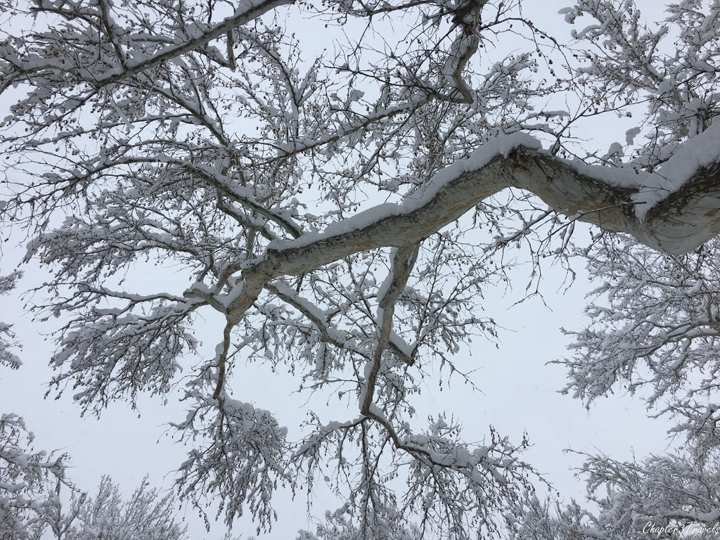 Large tree branches coated in snow