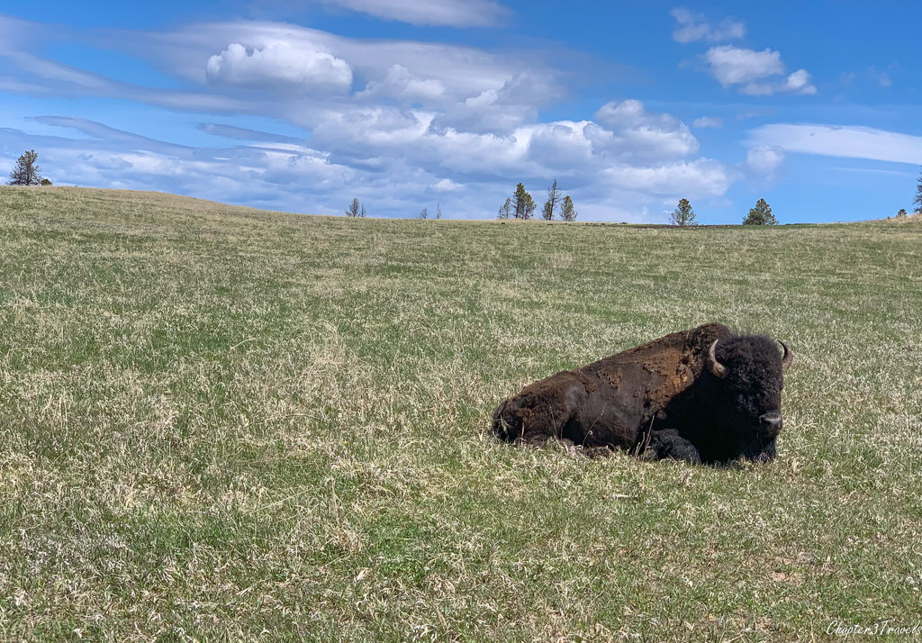Bison sitting in large grassy area at Custer State Park