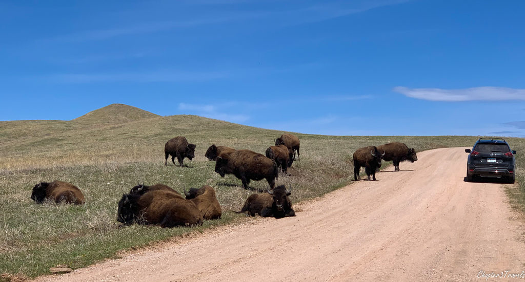 Herd of bison next to a road at Custer State Park in South Dakota