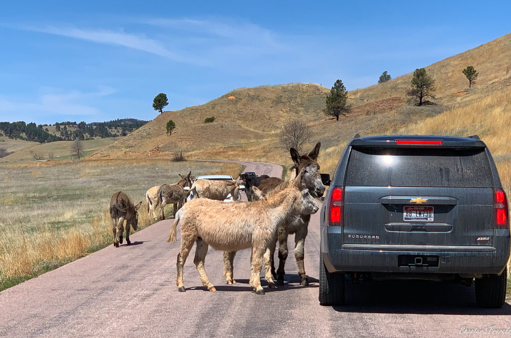 Burros approaching a car at Custer State Park in South Dakota