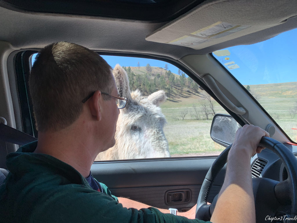 Burro at car window