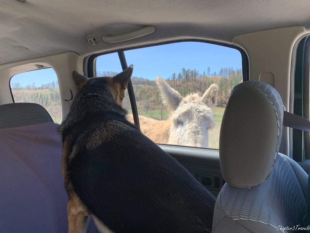Thor staring out window at a burro