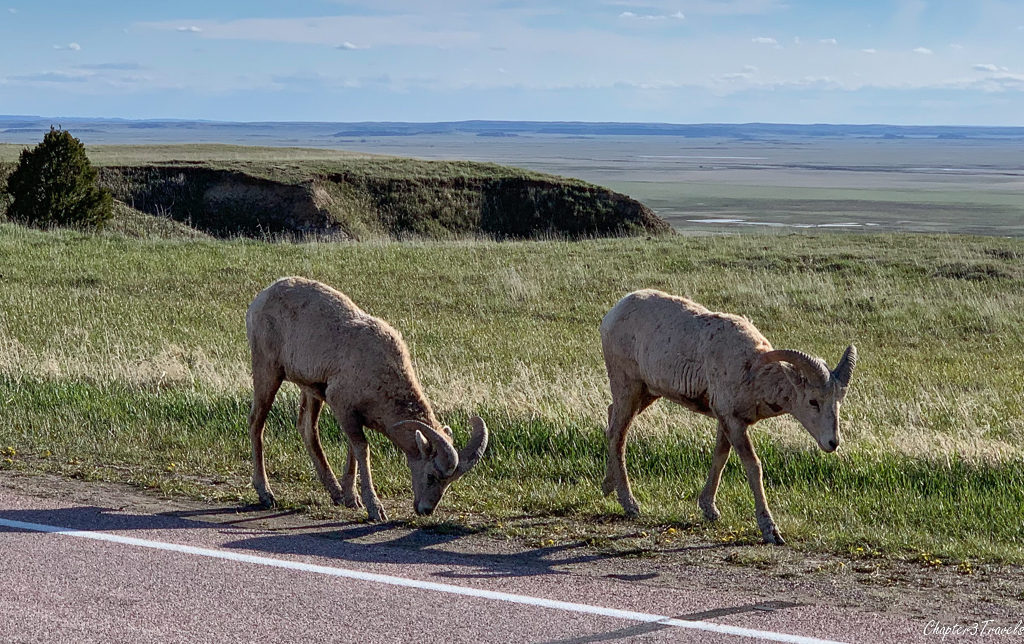 Bighorn sheep at Badlands National Park in South Dakota