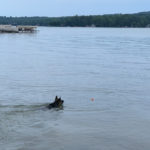 Thor swimming after ball in lake