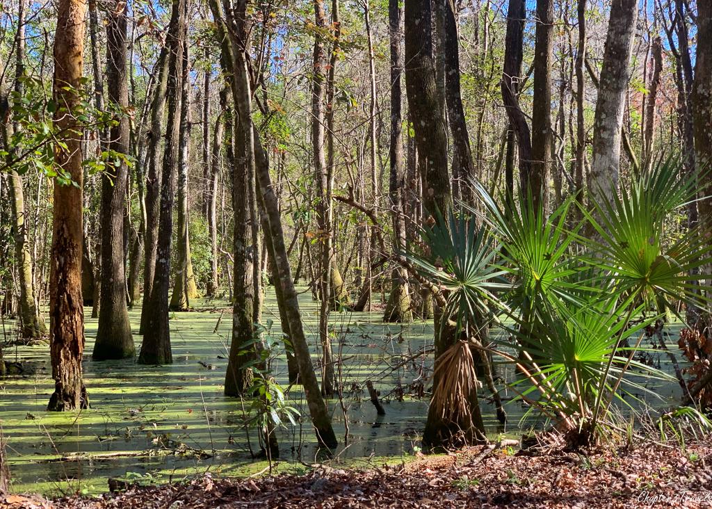 Swamp at Paynes Prairie State Park