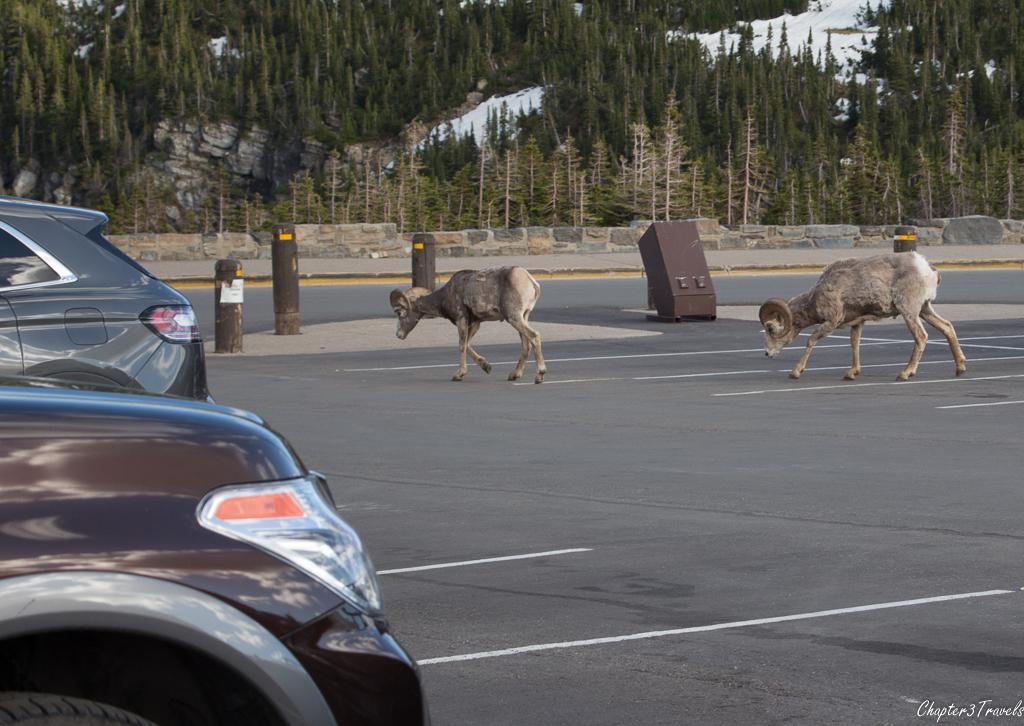 Big Horn Sheep walking through parking lot at Glacier National Park