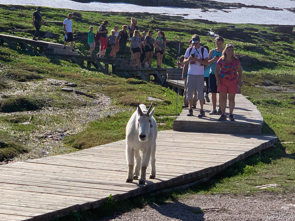 Goat walking in front of tourists on Hidden Lake Trail at Glacier National Park