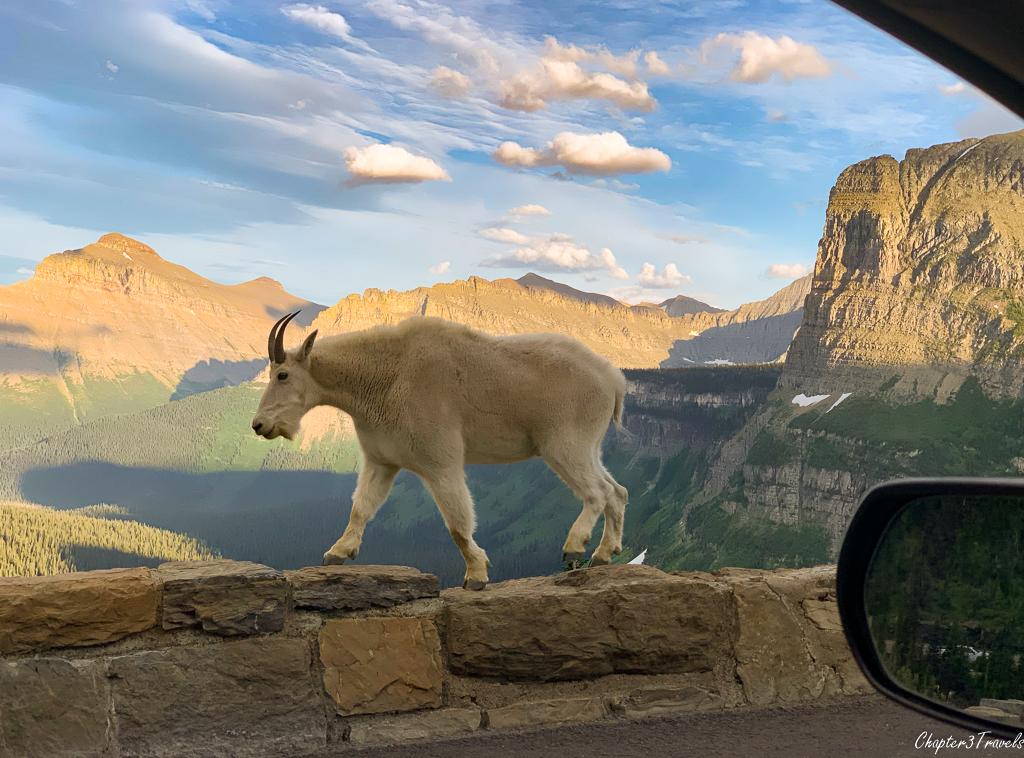 Mountain goat walking along Going to the Sun Road