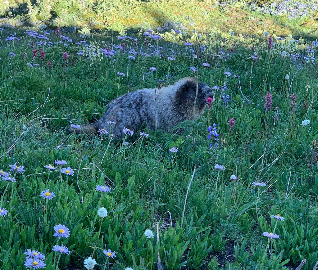 A marmot in a field of wildflowers