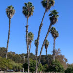 Very tall palm trees