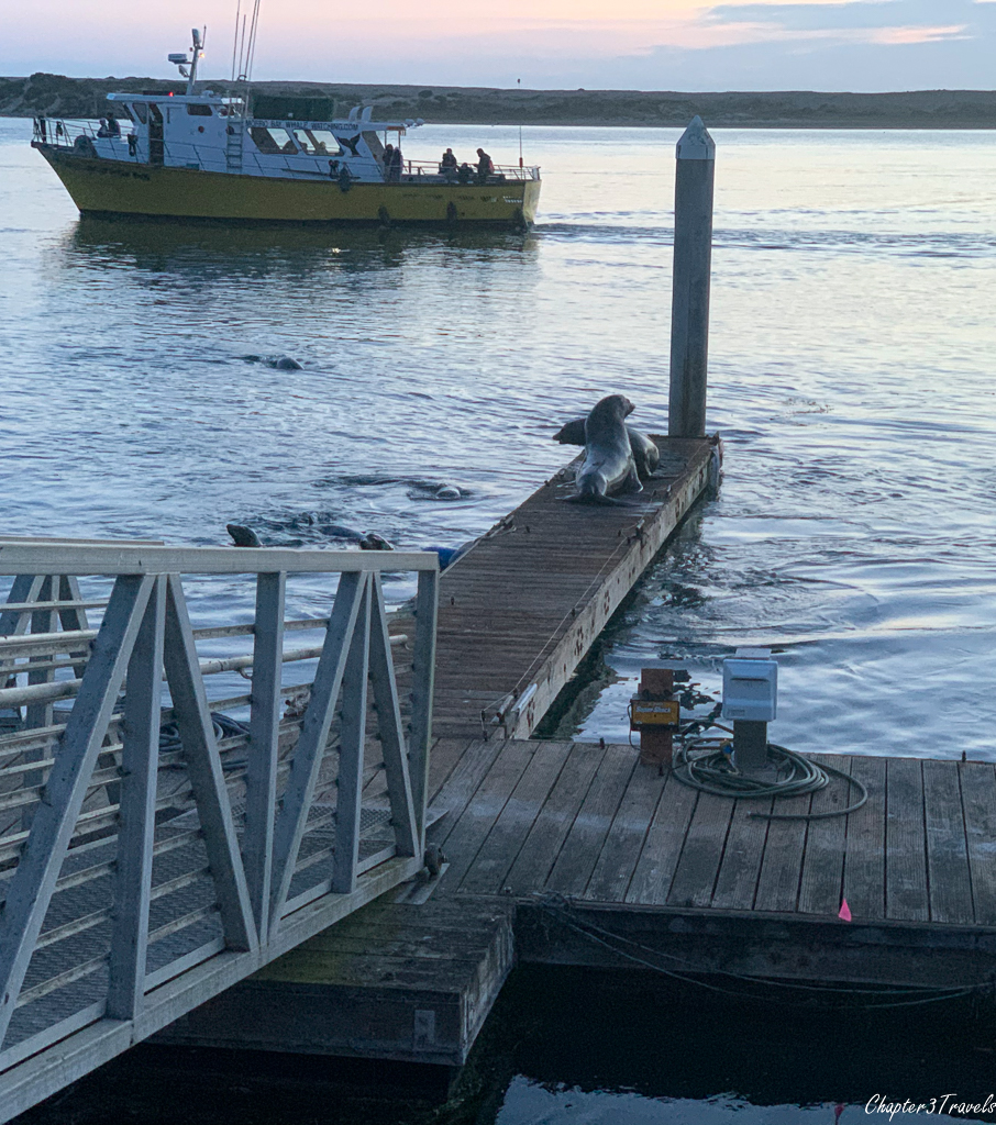 Seals playing on a dock while others swim in the water nearby