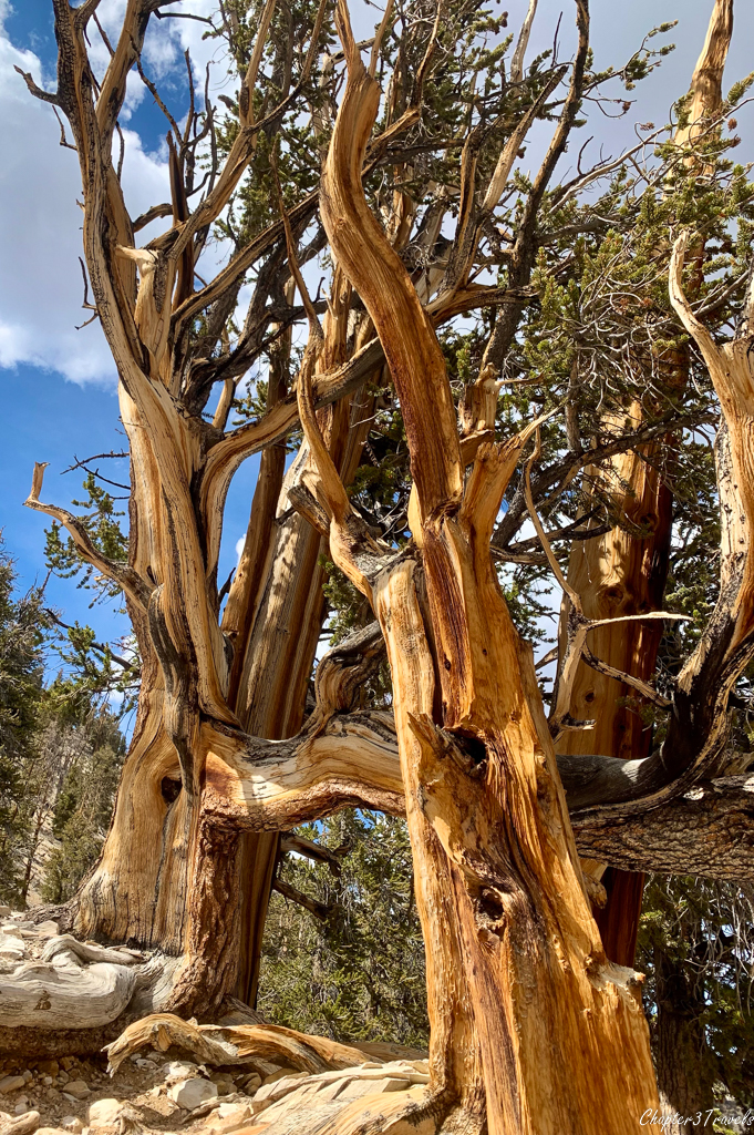 Ancient bristlecone pine trees